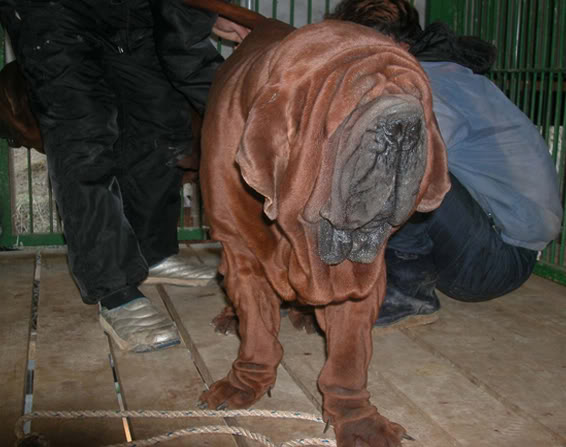 Mastiff… a cross between a dogue de bordeaux, a Neapolitan Mastiff ...